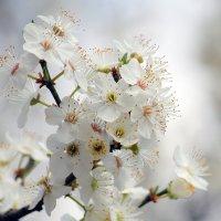 белая весна.. :: Ольга Маркарова