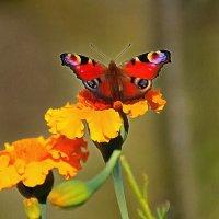 бабочка крылышками бяк...бяк :: Ольга Cоломатина