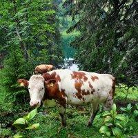 горно-лесные коровы :: Elena Wymann