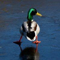 на льду :: linnud