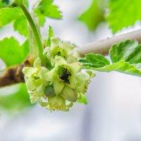 Цветок смородины :: Сергей Щербаков