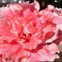 Азалия - цветок под розовой вуалью :: Нина Корешкова