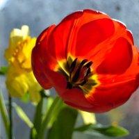 Тюльпан :: Наталья (ShadeNataly) Мельник