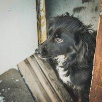 Боевой пёс. :: Света Кондрашова
