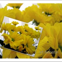 Хризантемы... :: Тамара (st.tamara)