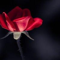 Ночная роза :: Pavel V