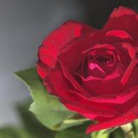 Роза :: Александр Ширяев