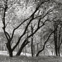 В сосновом лесу :: Андрий Майковский
