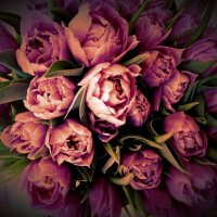Махровые тюльпаны :: Светлана Лысенко