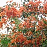 Мартовское цветение бугенвиллии. :: Жанна Викторовна