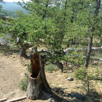 Старое дерево :: Вера Щукина