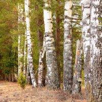 весенний лес :: Анна Никонорова