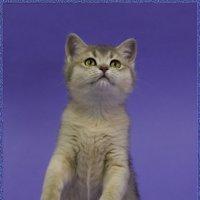 Шотландский прямоухий3,позирует-из серии Кошки очарование мое! :: Shmual Hava Retro