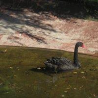А черный лебедь на пруду... :: Елена Семигина