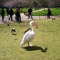 Пеликан в весеннем парке. :: Елена