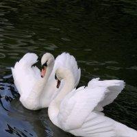 Лебединая пара :: Михаил Смуров