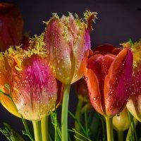 Тюльпаны. :: Сергей Басов