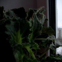 Домашний цветок :: Ксения Фирсова