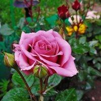 Вдыхая розы аромат... :: Татьяна и Александр Акатов