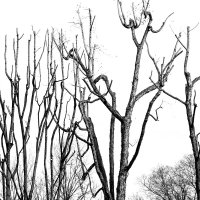деревья Милана :: Natalya Kopyl