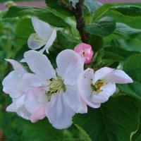 Яблони цвет... :: °•●Елена●•° Аникина♀