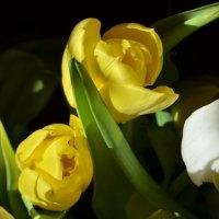 тюльпаны... :: Галина R...