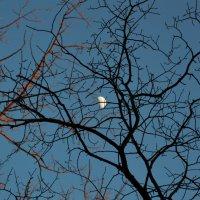 Луна запуталась в ветках :: Вероника Подрезова