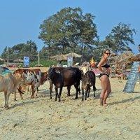 Индия. Калангут. Пляж, священные коровы, доярка(?) и пастух(?) :: Владимир Шибинский