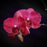 Орхидея 1 :: Владимир