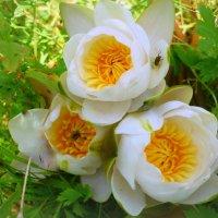 Солнечные лилии :: Павлова Татьяна Павлова
