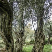 Старык оливки :: Gennadiy Karasev