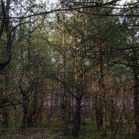Весенний вечер в сосновом лесу :: Ксения Довгопол
