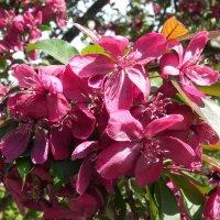 Яблоневый цвет. :: Oleg4618 Шутченко