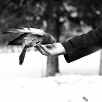 голубь на перекусе :: Кирилл Золотаев