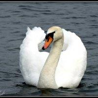 Лебедь на Городищенском озере. Изборск. :: Fededuard Винтанюк