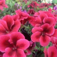 Pelargonium grandiflorum / Пеларгония крупноцветковая :: laana laadas