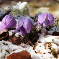 первые весенние цветочки... :: Александр