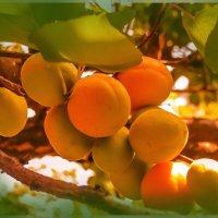 абрикосы :: георгий петькун