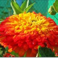 Пышность цветка :: Лидия (naum.lidiya)