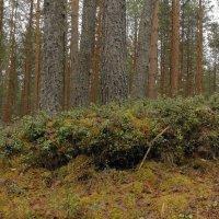 брусничные поляны - сосновые леса :: Михаил Жуковский