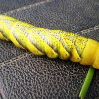 гусеница :: владимир володенок