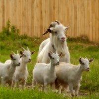 Козел и четверо козлят. :: Александр Шаханов
