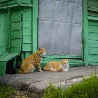коты :: Эдуард Малец