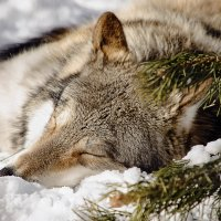 Волк :: Татьяна Титова