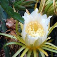 Цветет кактус эпифиллум :: Герович Лилия