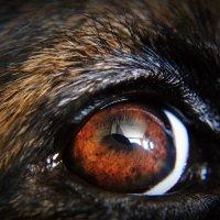 глаз моей собаки :: Дарья Буренок