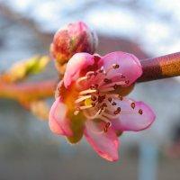 Персик в золоте марта. :: Олеся Енина