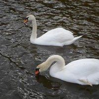 Лебеди :: BoxerMak Mak