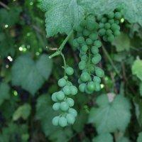 Виноградная лоза :: Алисса Бруг