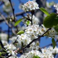 Дерево в цвету. :: Валерьян